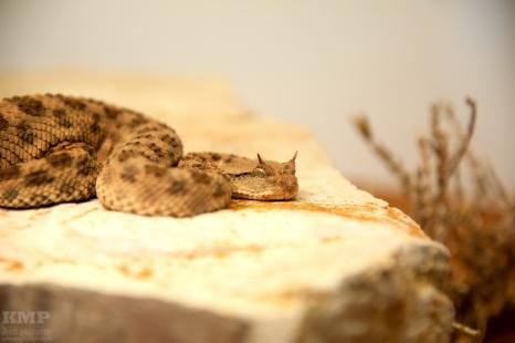 Wüsten-Hornviper (Cerastes Cerastes)