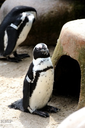 Humboldt Pingiun
