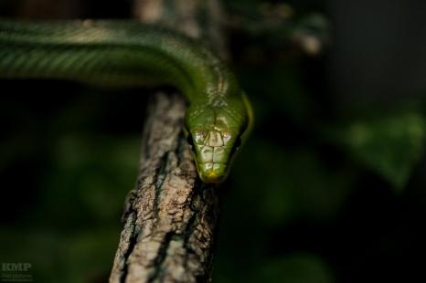 Grüne Spitzkopfnatter
