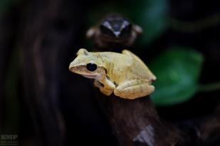 Tropischer Frosch