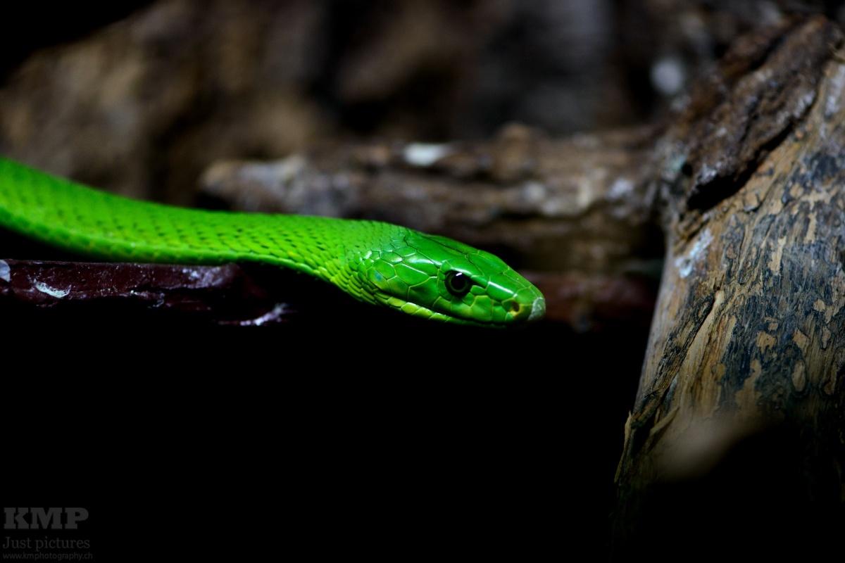 Grüne Mamba (Dendroaspis viridis)