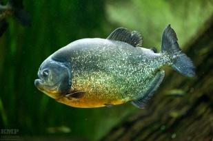 Rotbauch Piranha