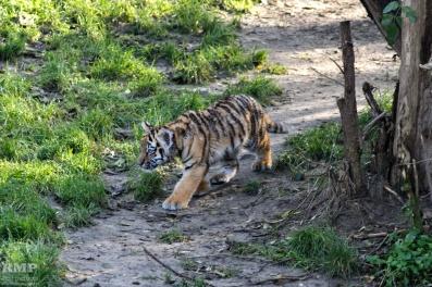 Sibirischer Tiger (Jungtier)