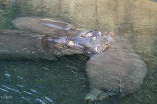 Flusspferde