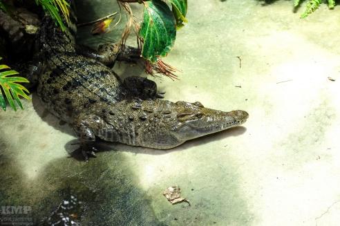 Philippinen-Krokodil