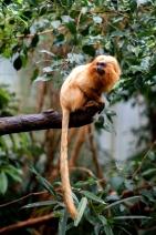 (Leontopithecus Rosalia Rosalia)