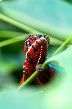 Pantherchamäleon (Furcifer pardalis)