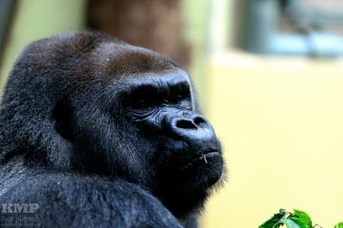 Gorillamann (Silberrücken)