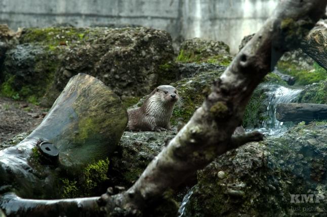 Fischotter