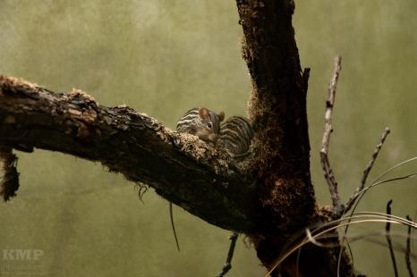 Streifengrasmäuse