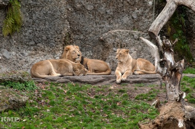 Indische Löwen
