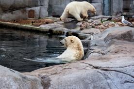 Eisbähren