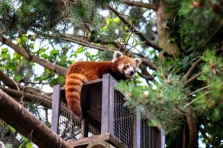 Roter Panda