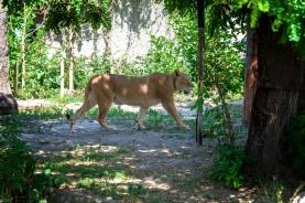 afrikanische Löwin