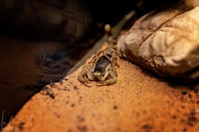 Skorpion