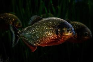 Rotbauch-Piranha