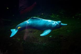Flussdelphin