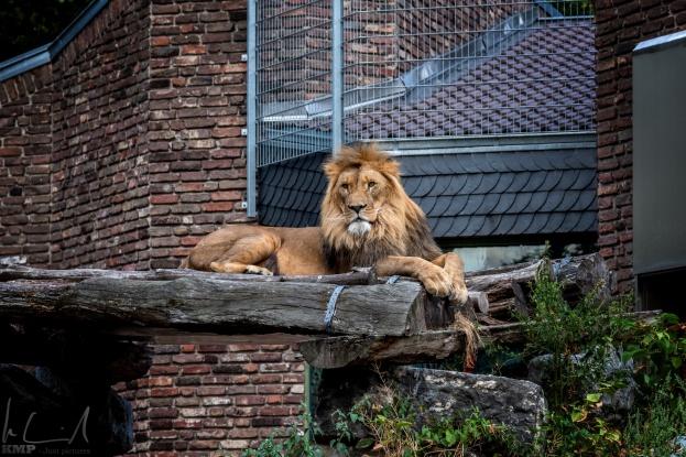 Afrikanischer Löwe