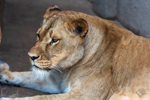 Afrikansche Löwin
