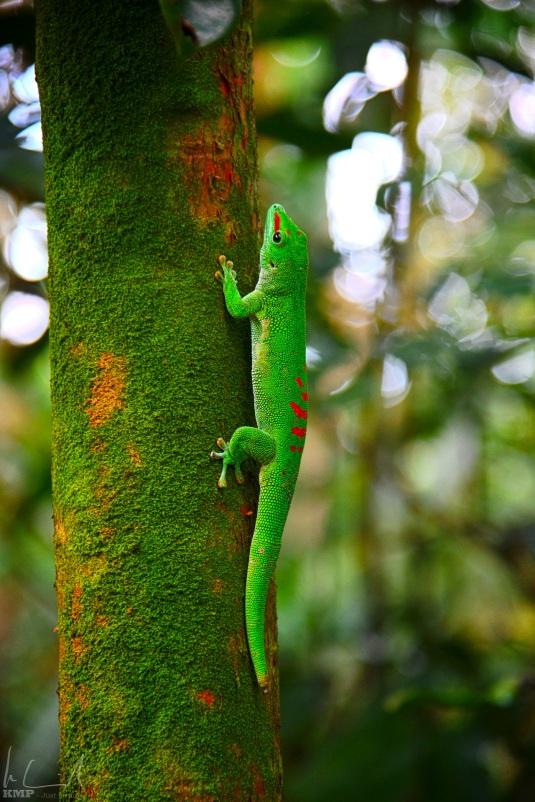 Grosser Madagaskar-Taggecko